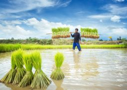 Blockchain ile pirinç